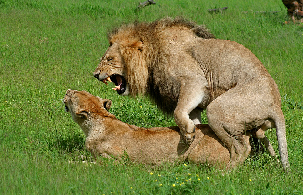 Lions mating in Kwando...
