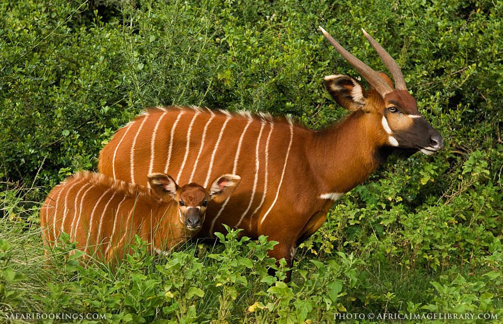 http://photos.safaribookings.com/library/kenya/xxl/Aberdare_National_Park_010.jpg