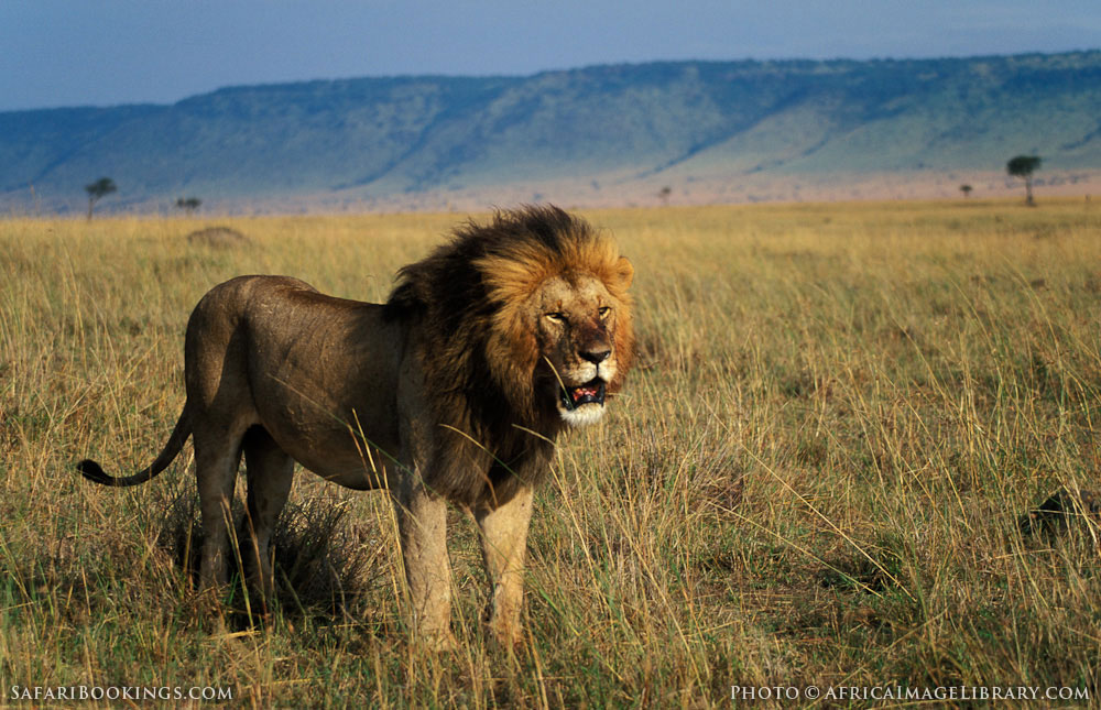 http://photos.safaribookings.com/library/kenya/xxl/Masai_Mara_National_Reserve_026.jpg