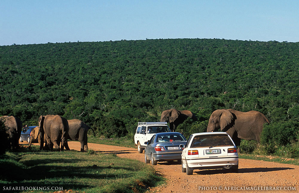 Addo South Africa  city photos : ... crossing the road in Addo Elephant National Park, South Africa