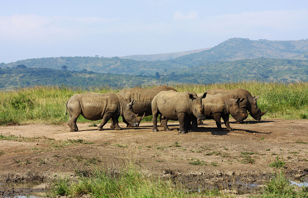 Hluhluwe South Africa  city photos : White rhino in Hluhluwe Umfolozi Game Reserve, South Africa