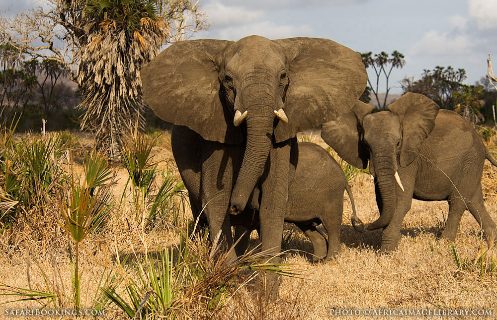 Selous Game Reserve Tanzania  City new picture : African elephants looking at camera in Selous Game Reserve, Tanzania