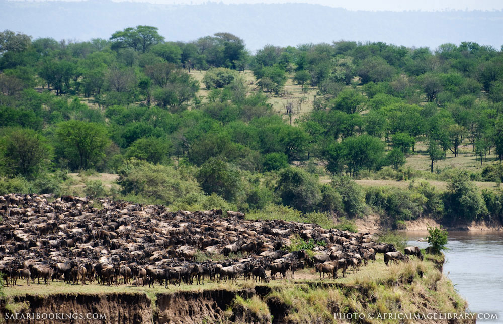 Wildebeest migration at