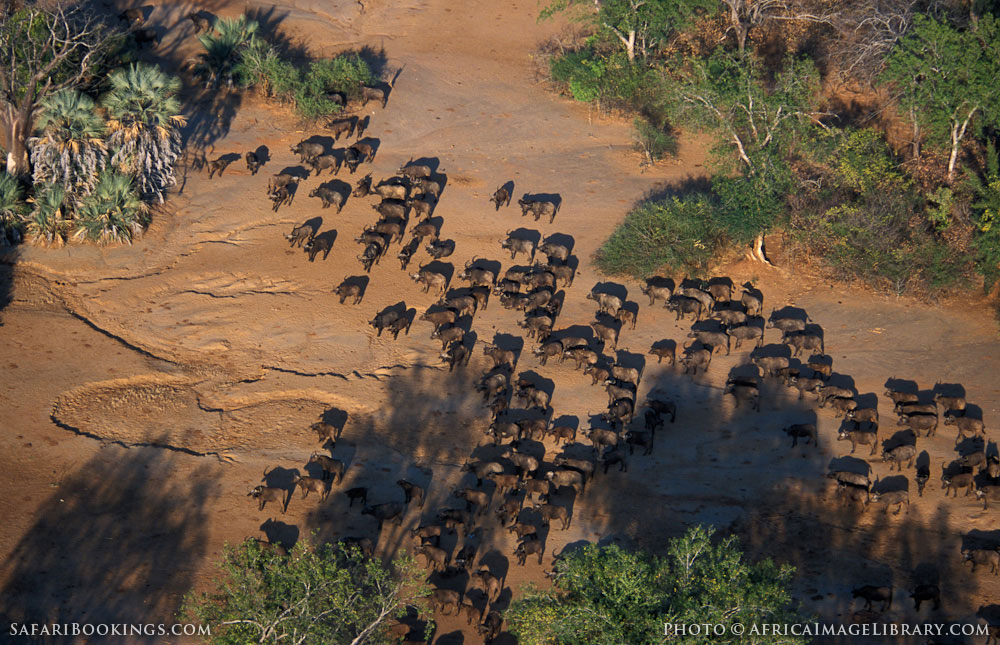 Herd of buffalo in Lower Zambezi National Park, Zambia