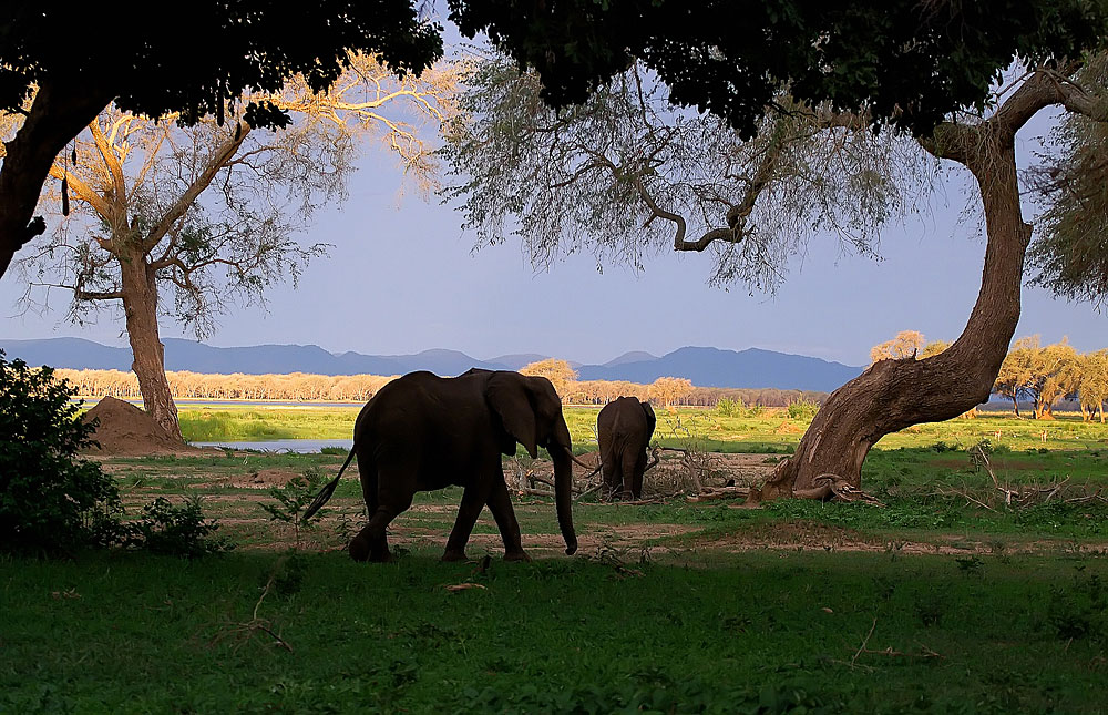 Elephants in the shade of a tree in Zambezi National Park, Zimbabwe